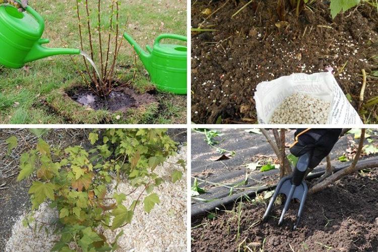 Как можно омолодить черную и красную смородину и улучшить урожай