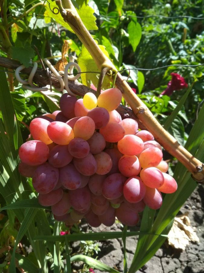 Сорт винограда «подарок несветая» описание и фото