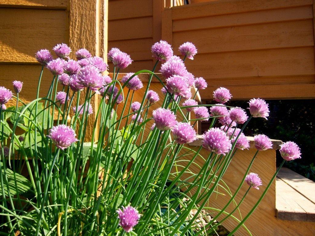 Многолетний лук: сорта, правила посадки и ухода
