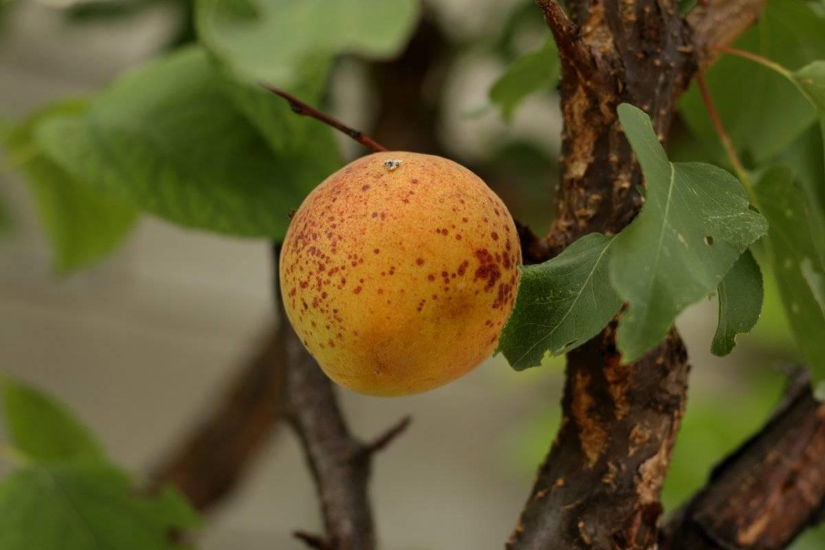 Весна — сезон обработки абрикоса от болезней и вредителей