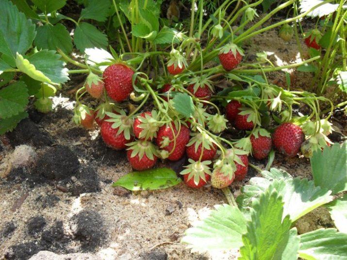 Клубника кент: отзывы, фото, описание сорта, урожайность, морозоустойчивость, вкусовые качества, выращивание, посадка и уход