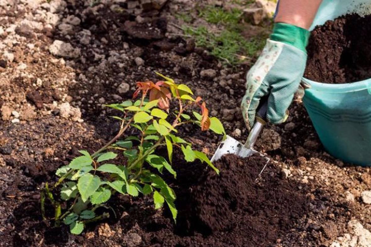 Гацания – выращивание из семян, когда и как сеять, когда сажать в открытый грунт