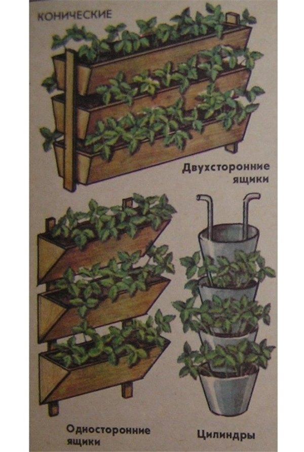 Ремонтантная клубника: выращивание и уход дома разными способами ремонтантная клубника: выращивание и уход дома разными способами