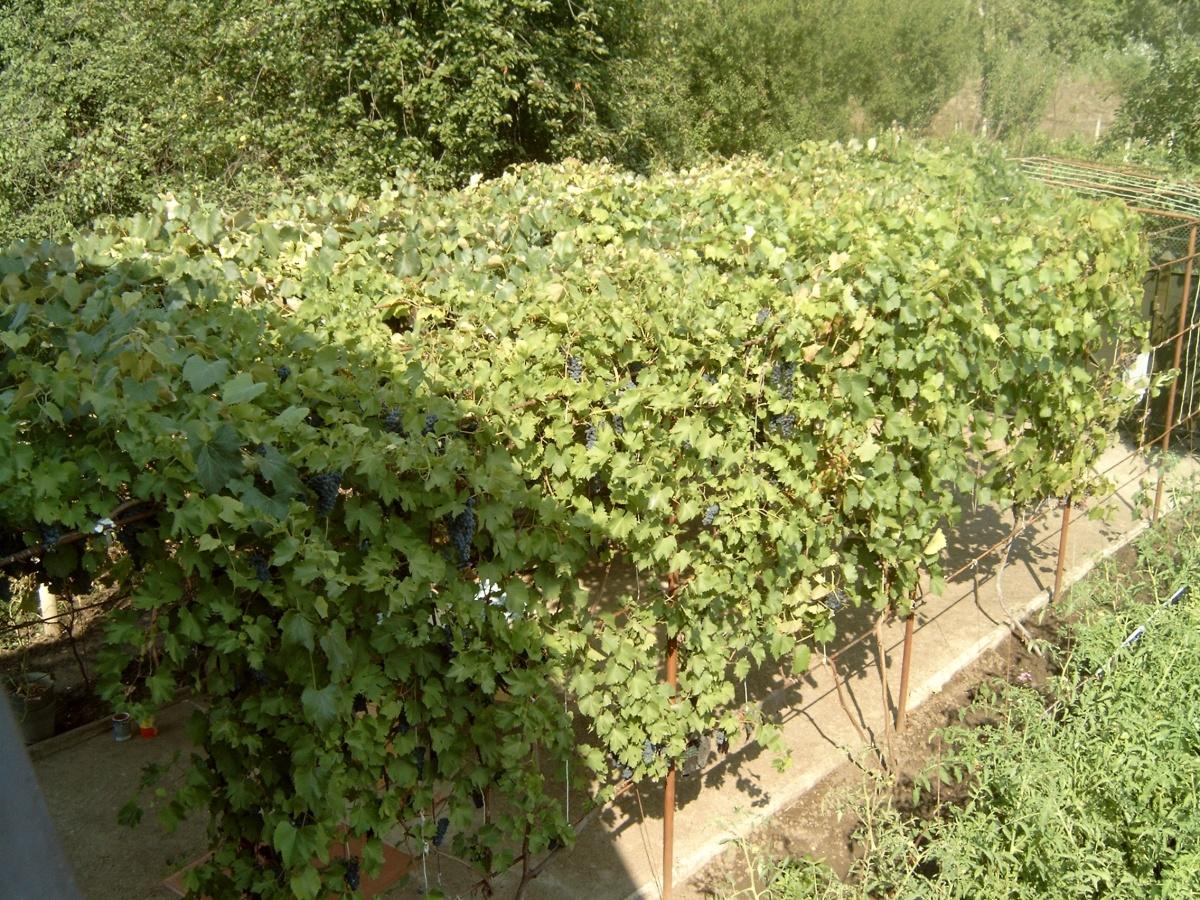 Выращивание винограда и уход за ним: выбор сорта, технология посадки и обрезки, разведение на даче