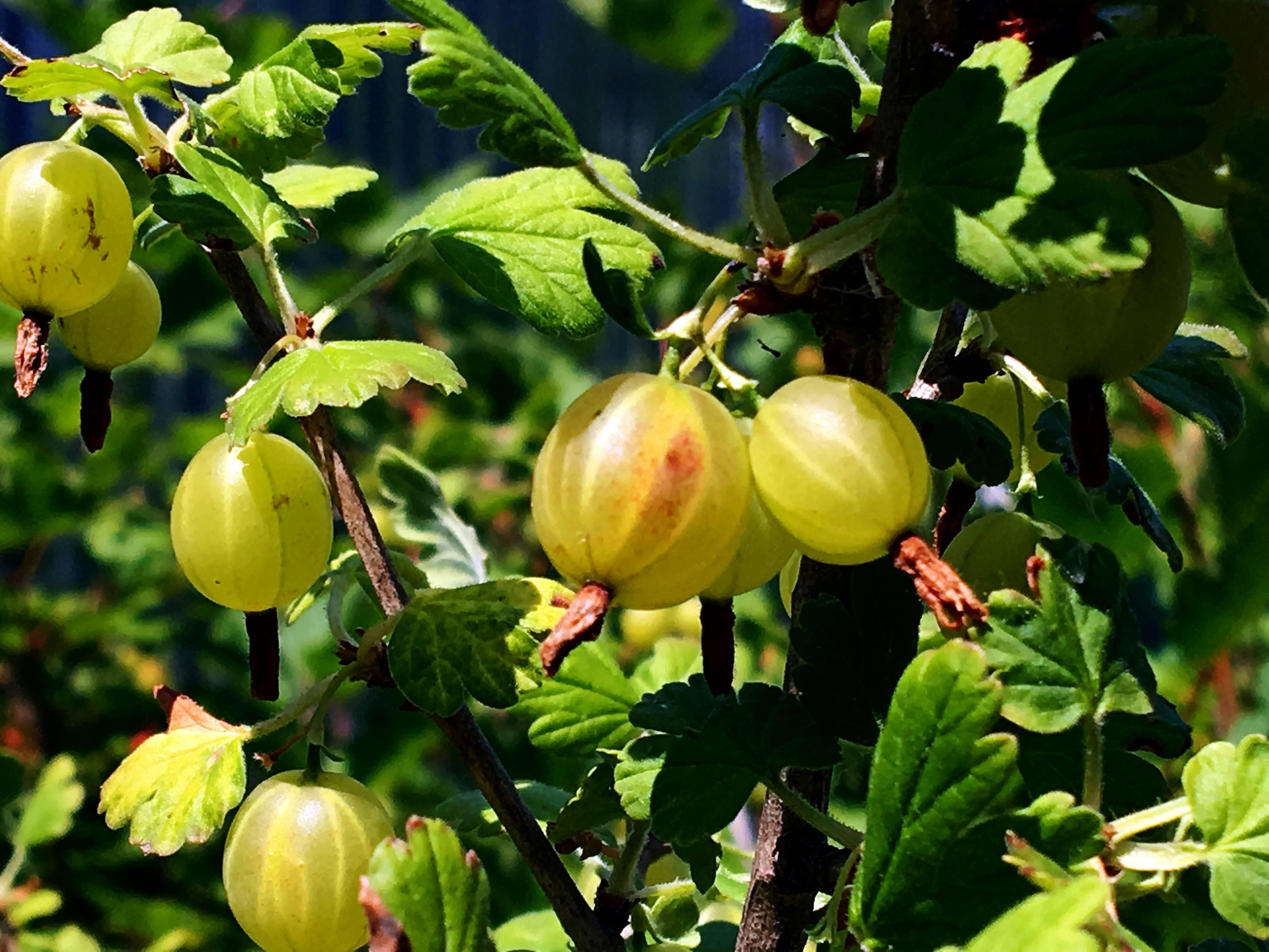 Крыжовник колобок — секреты выращивания кустарника