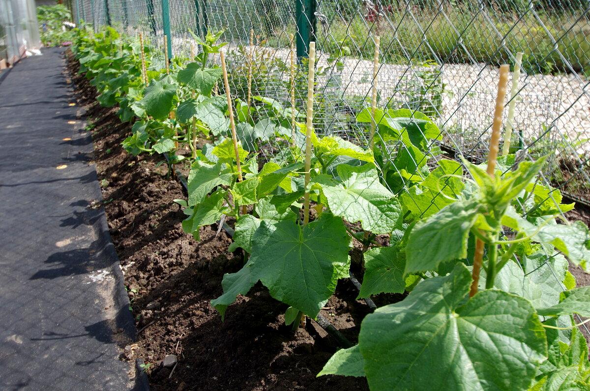 Выращивание огурцов в открытом грунте и теплице в Ленинградской области и сорта