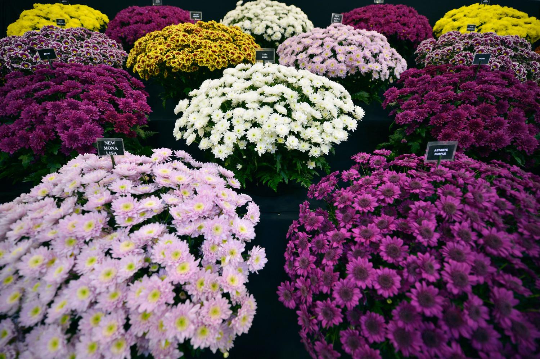 Выращивание крупноцветковых хризантем в средней полосе