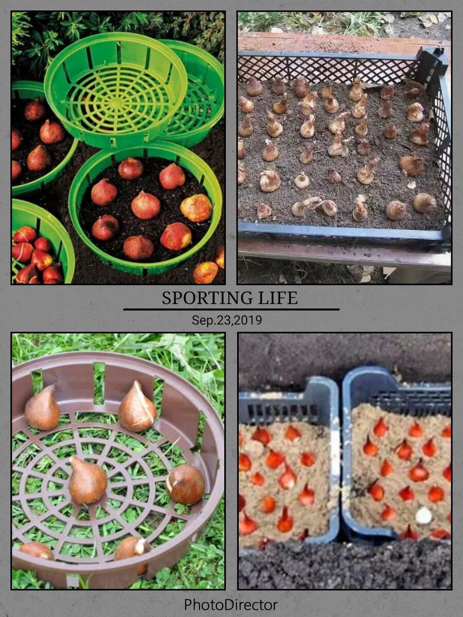 А вы уже подготовились к весне? нарциссы, тюльпаны и гиацинты в контейнерах! на supersadovnik.ru