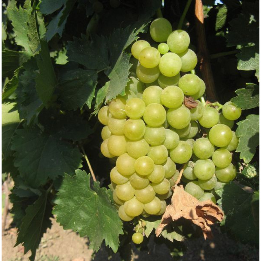 Виноград мускат — лучшие 10 столовых сорта винограда с мускатным вкусом