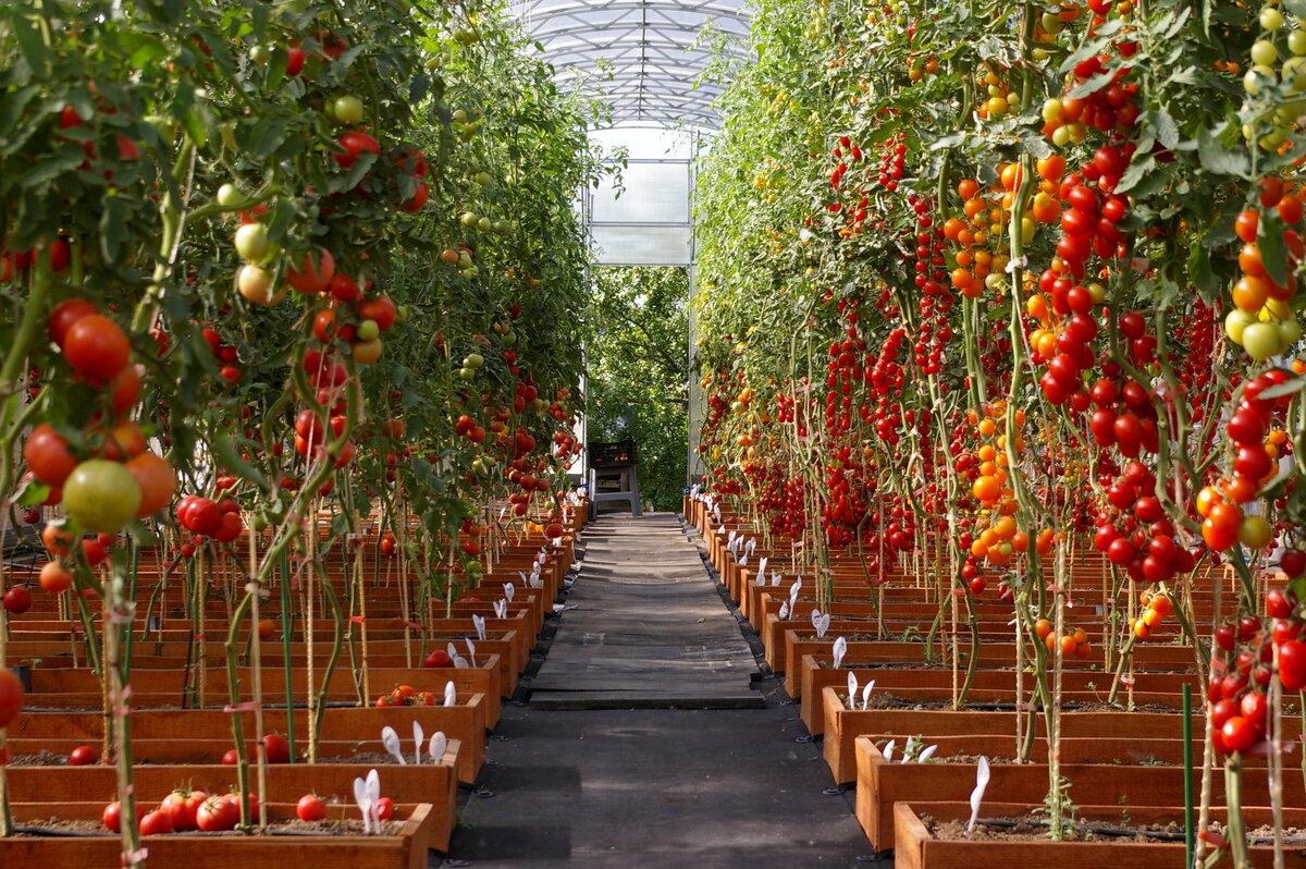 Новые технологии по выращиванию томатов в теплице и открытом грунте