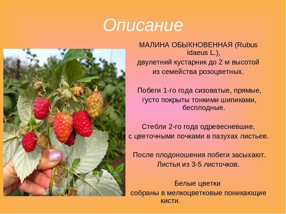 В чем польза желтой малины, как правильно ее вырастить на своем участке