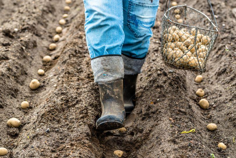 Влияние дождей на посадку и рост картофеля
