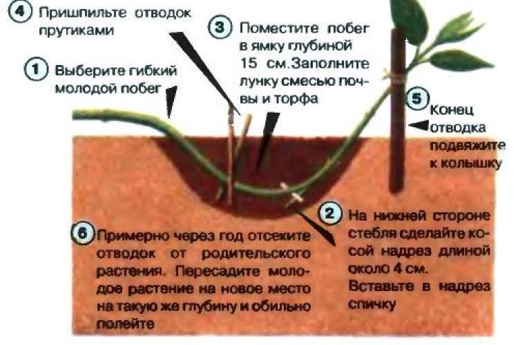 Как правильно посадить ежевику весной: сроки, советы и рекомендации