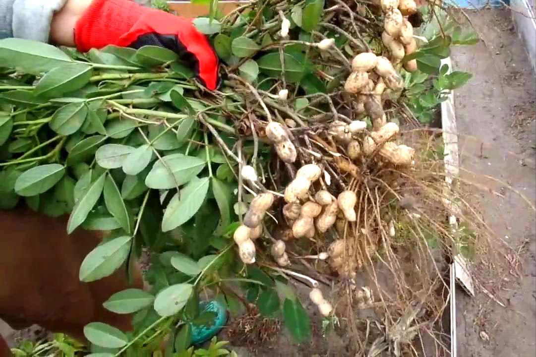 Как вырастить арахис на даче в условиях средней полосы как вырастить арахис на даче в условиях средней полосы