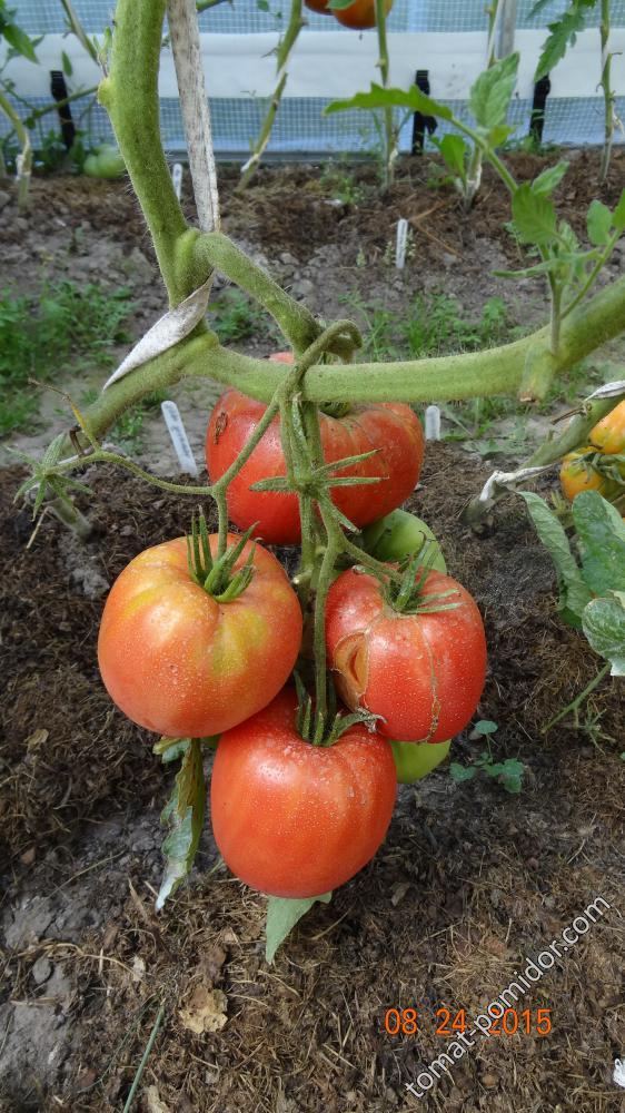 Какие индетерминантные сорта помидор самые урожайные для теплиц