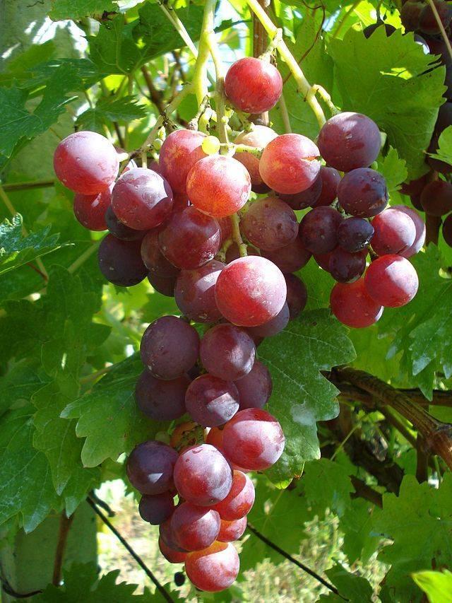 Описание и характеристики сорта винограда «кардинал»