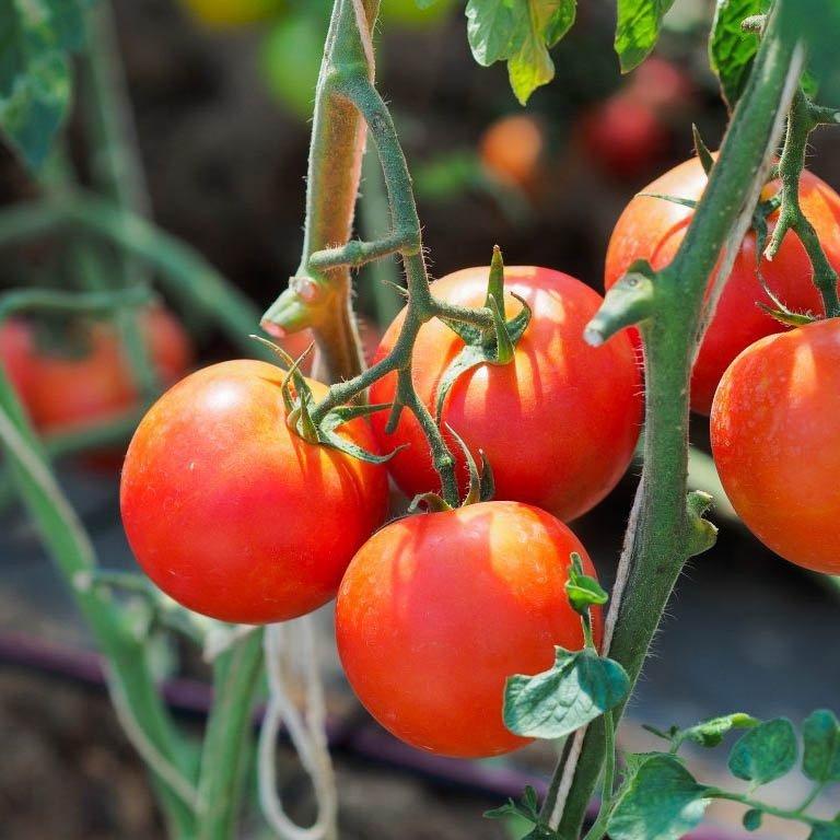 Томат белла роса (bella rosa) f1: описание раннего сорта, отзывы и фото, принципы выращивания, посадка и уход, урожайность гибрида