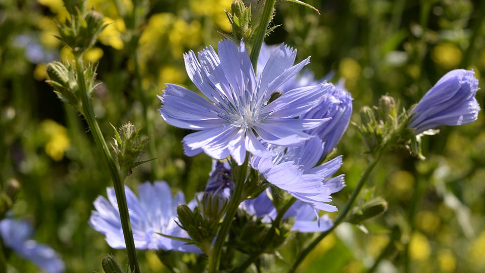 Полезные свойства и противопоказания растения цикорий, как использовать