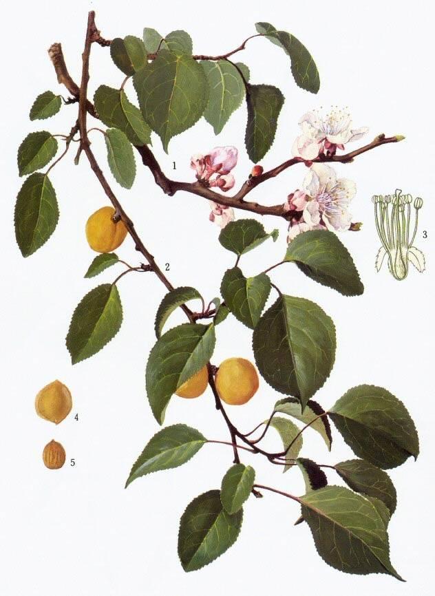 Клематис маньчжурский (35 фото): описание ломоноса, посадка и уход. как вырастить из семян в домашних условиях? размножение