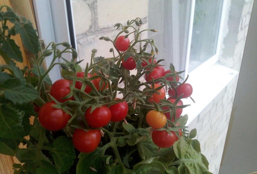 Как вырастить помидоры дома: как посадить комнатные томаты в горшке в условиях квартиры или на лоджии, можно ли это делать зимой, а еще пошаговая инструкция процесса русский фермер