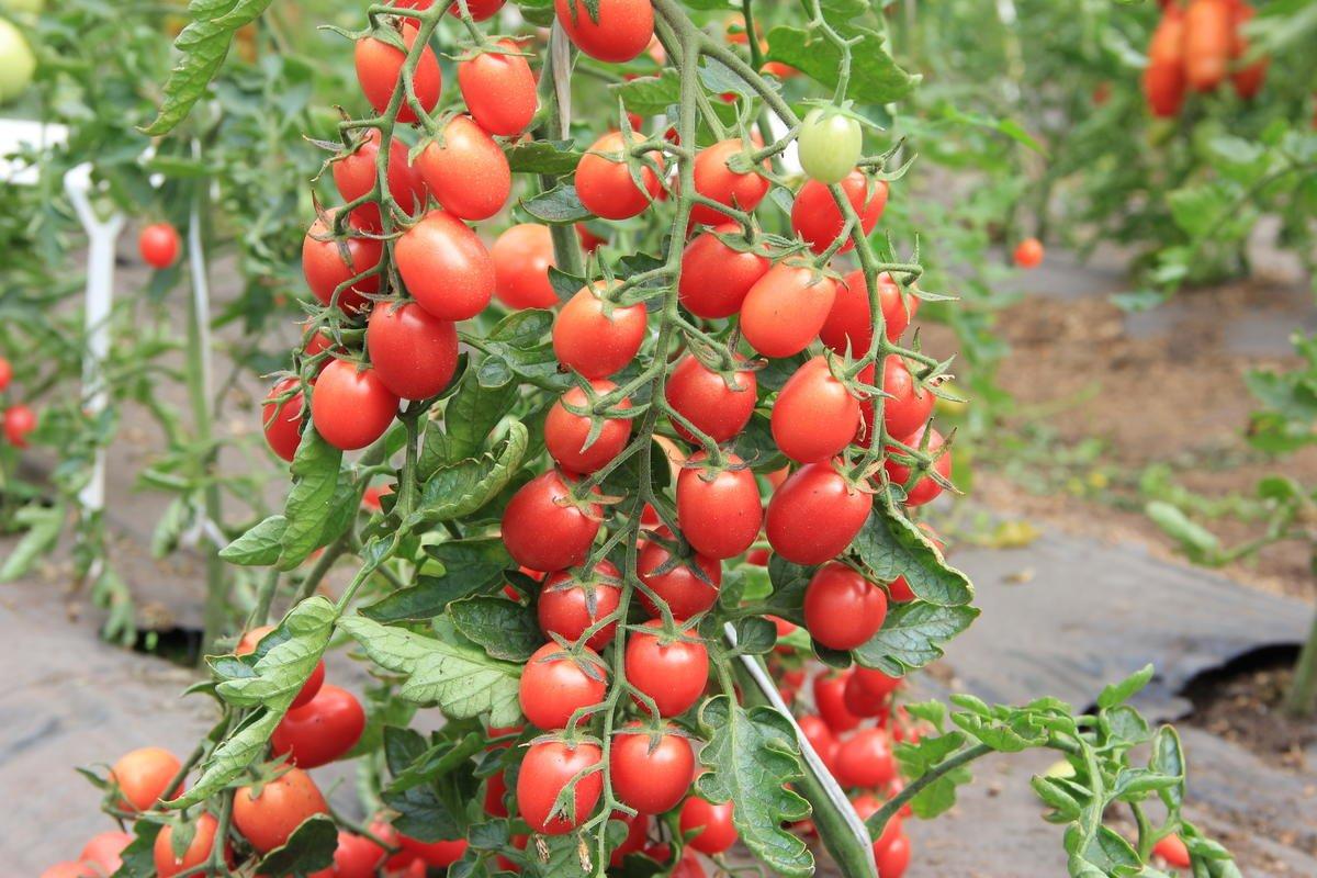 Томат крон принц: характеристика сорта, отзывы, урожайность