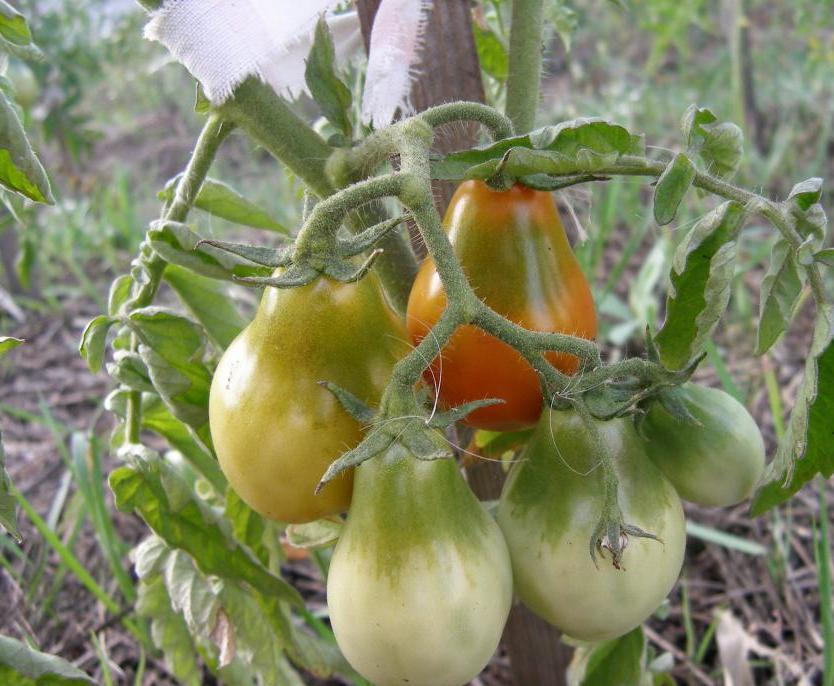 Томат грушовка розовая: характеристика и описание сорта, фото помидоров, отзывы об урожайности куста