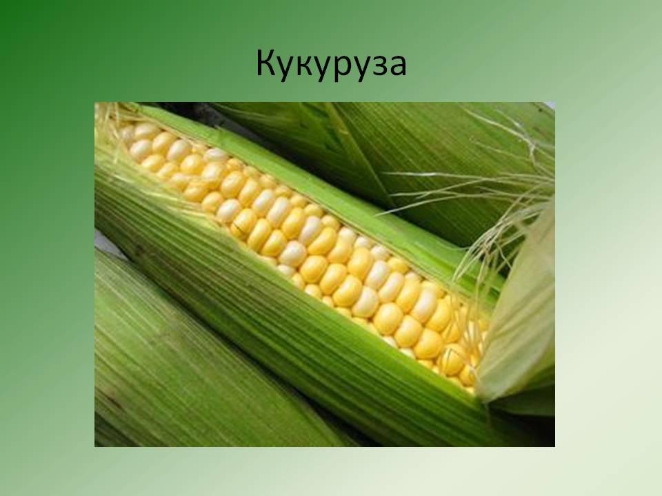 К какому семейству и виду относится кукуруза: овощ, фрукт или злак - всё про сады