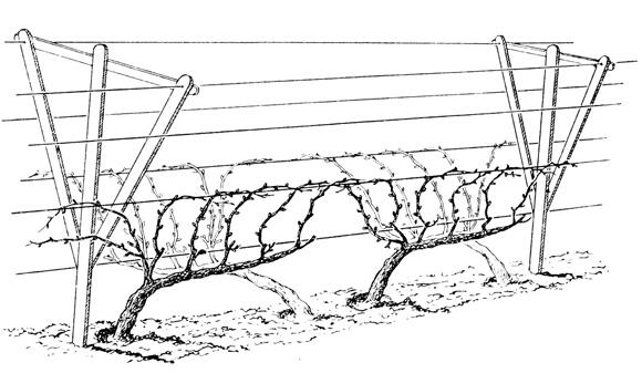 Как подвязать виноград на шпалеру весной - пошаговая инструкция с фото