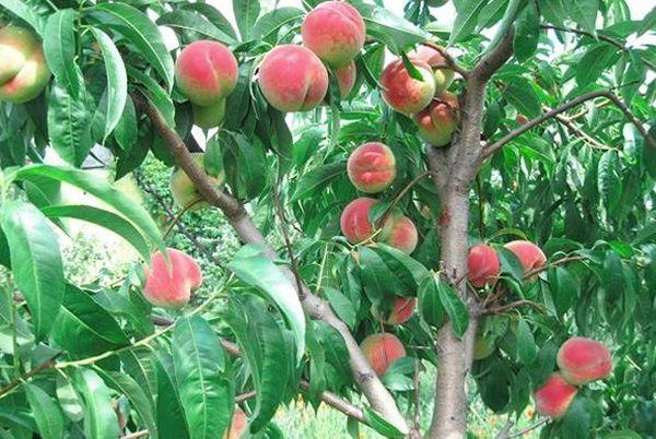Персик редхейвен – райский плод