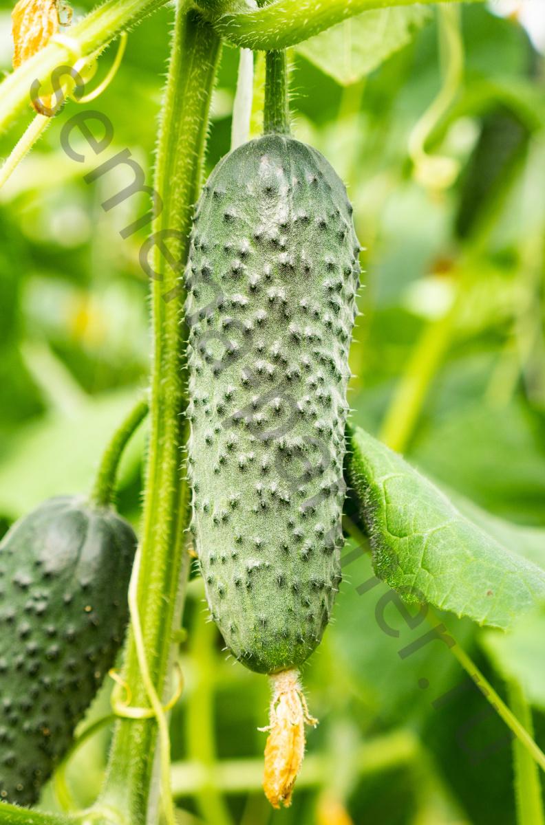 Огурец бьерн f1: описание сорта, фото, отзывы и урожайность