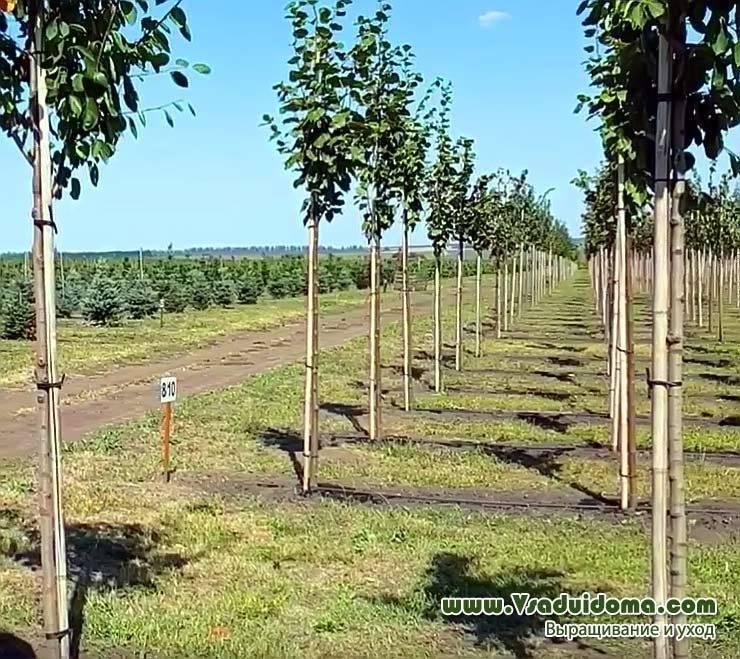 Яблоня на штамбе: о сортах штамбовой яблони, что такое высота штамба