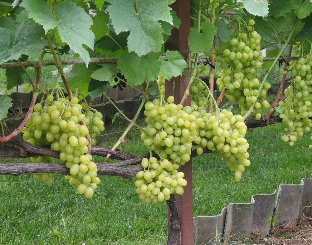 Виноград белый мускат: описание сверхраннего сорта, характеристика и выращивание