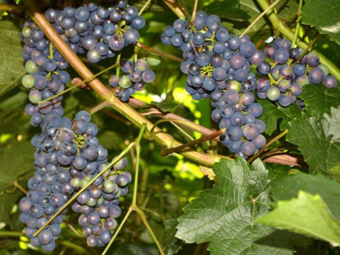 Капризный виноград с неповторимым вкусом — сорт ризамат