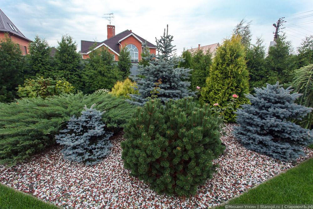 Хвойные растения для сада в ландшафтном дизайне