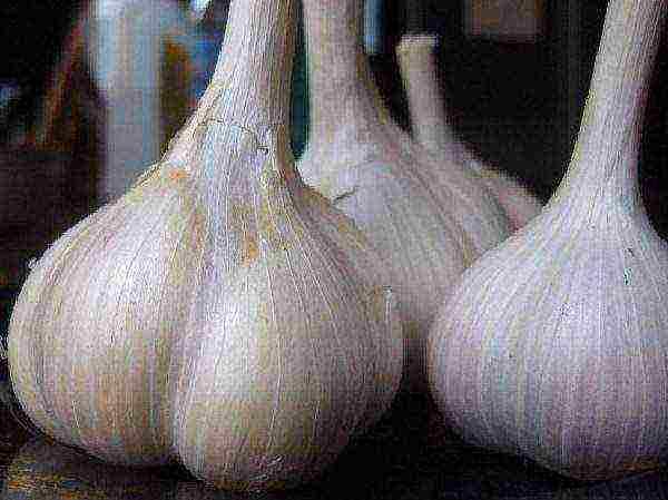 Чеснок петровский: описание и характеристика сорта, отзывы садоводов с фото
