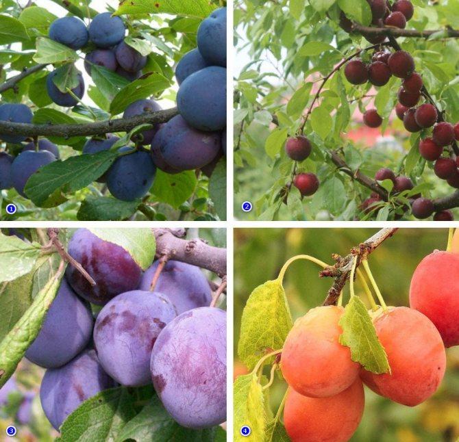 ✅ о сливе заречная ранняя желтая: описание сорта, опылители, агротехника выращивания - tehnomir32.ru