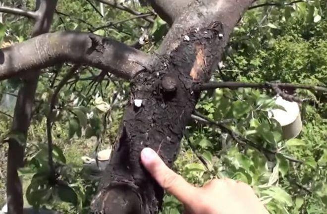 Черный рак на яблоне – лечение болезни