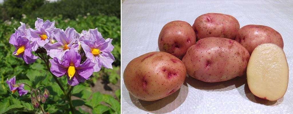 Картофель утро раннее: описание и характеристика сорта, урожайность с фото