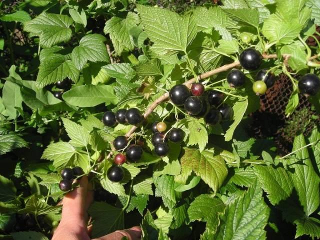 Черная смородина титания: описание сорта, фото, отзывы