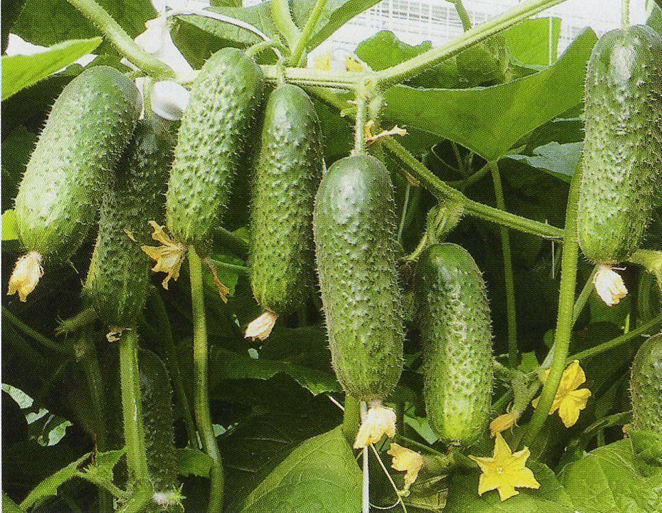 Огурцы виктория f1 — характеристика и важные правила выращивания