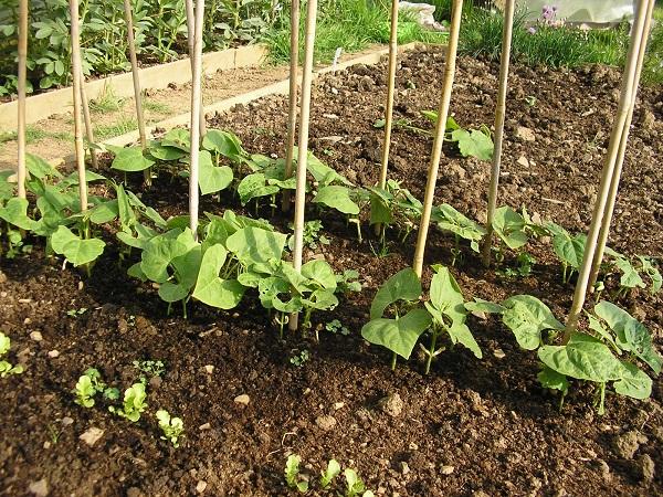Стручковая фасоль посадка и уход: семена, подготовка почвы