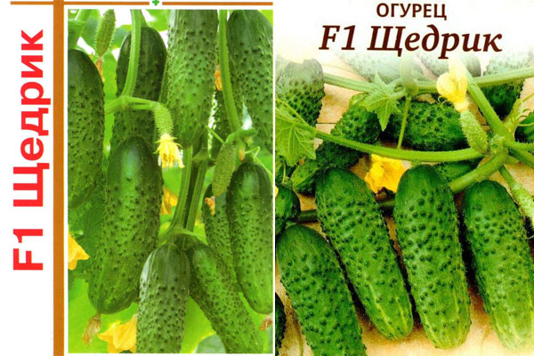 Гибрид огурцов «беттина f1»: фото, видео, описание, посадка, характеристика, урожайность, отзывы