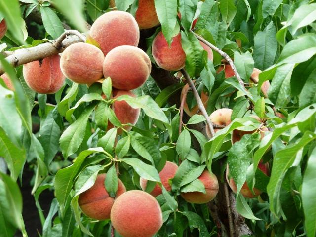 Персик — выращивание и уход. посадка, размножение, защита. сорта для различных регионов. фото — ботаничка.ru
