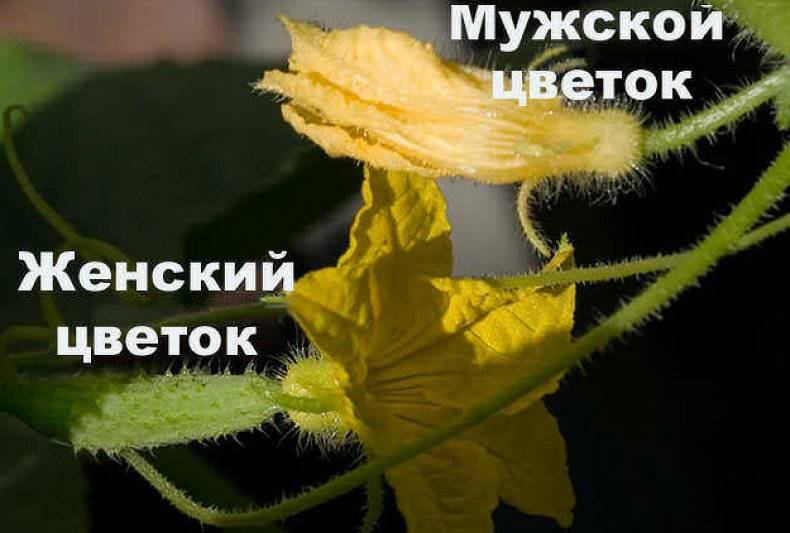 Кабачки цветут пустоцветом и не завязываются – что делать