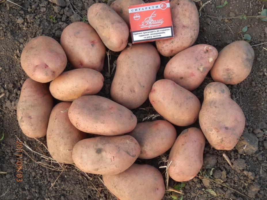 Картофель луговской: описание и характеристика, отзывы