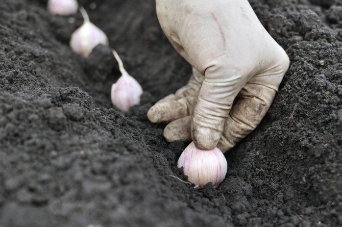 Выращивание чеснока в открытом грунте: как выращивать на грядке, советы по посадке и дальнейшему уходу до самого сбора