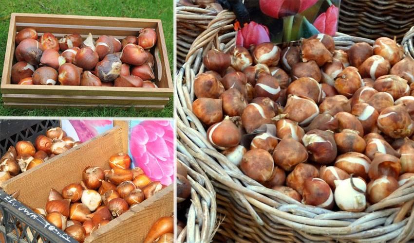 Подготовка тюльпанов к посадке осенью: обработка луковиц