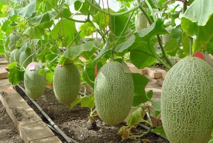 Описание и тонкости выращивания дыни сорта ананасная