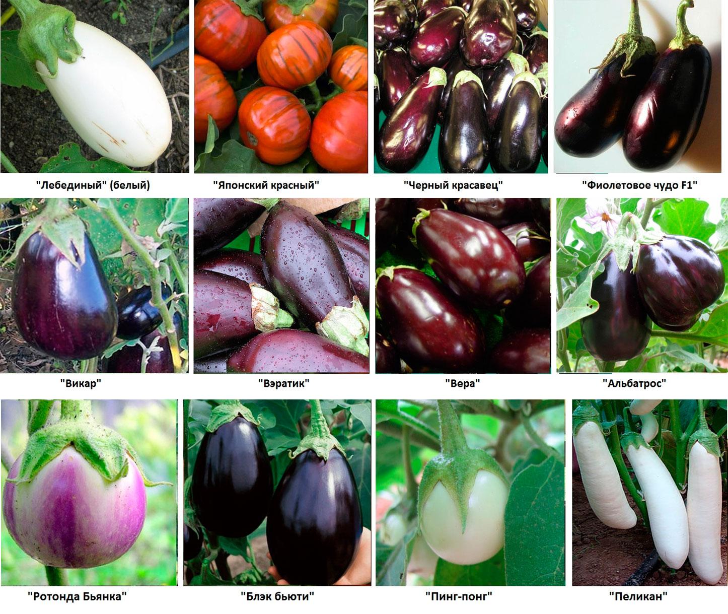22 лучшие сорта баклажан для подмосковья для открытого грунта: характеристика и описание, урожайность, отзывы и фото, особенности выращивания