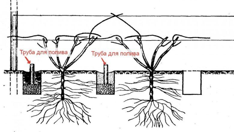 Как выращивать виноград в ленинградской области - сад и огород